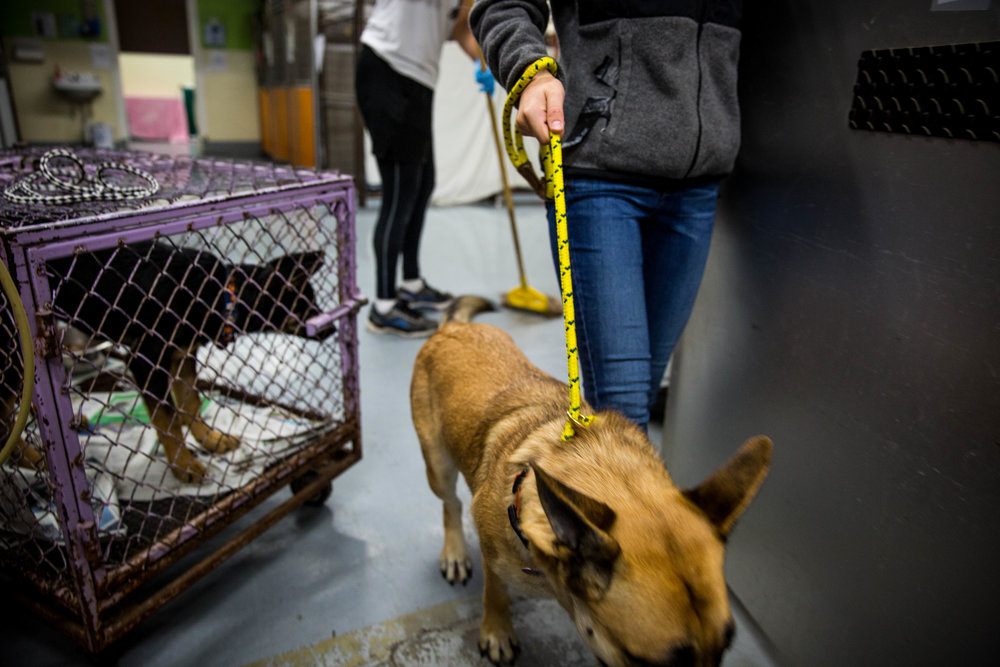 Staff member Clare Davis takes Sigma, a young German shepherd, out for a walk. The adoption center keep roughly 50 dogs, and to ensure all of them enough exercise every day, staff members have to rotate each dog at least three times a day.