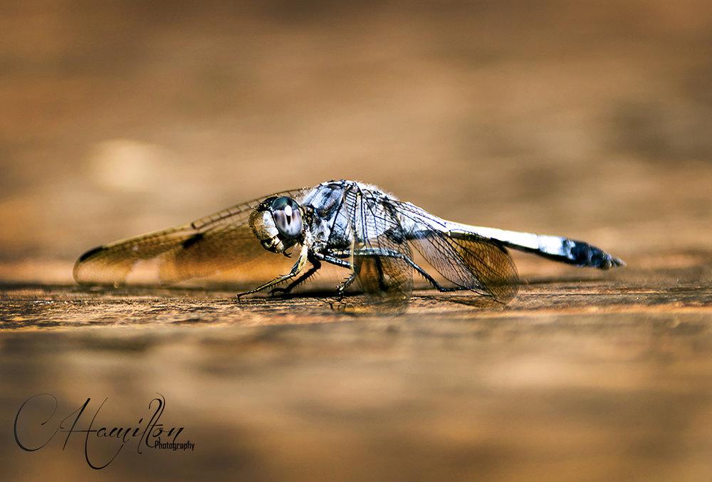karijini Dragonfly WM.jpg
