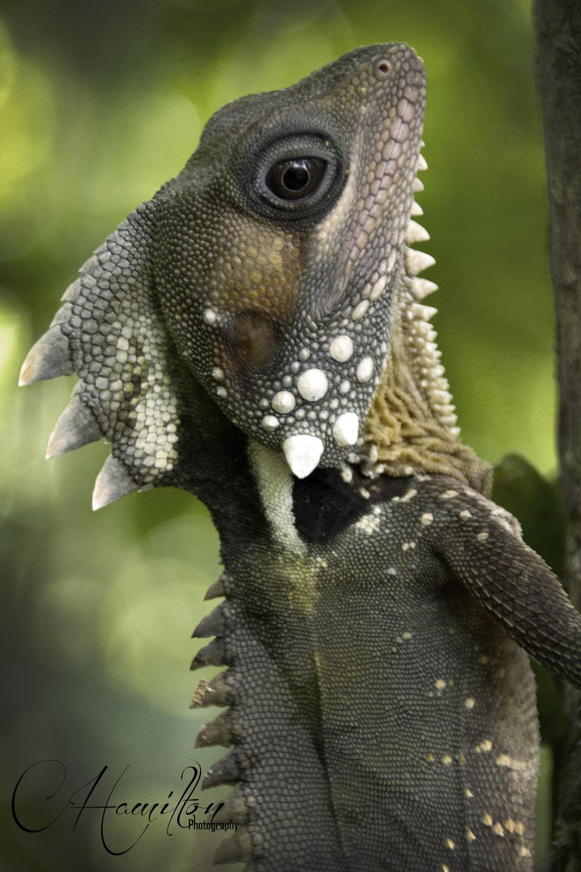 Lizard WM.jpg
