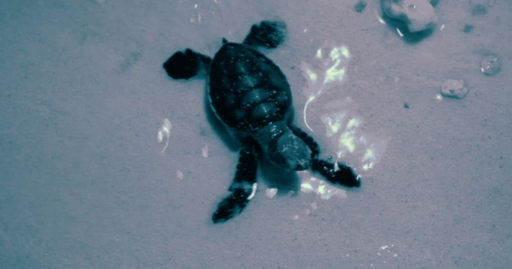A hatchling green sea turtle reaches the ocean