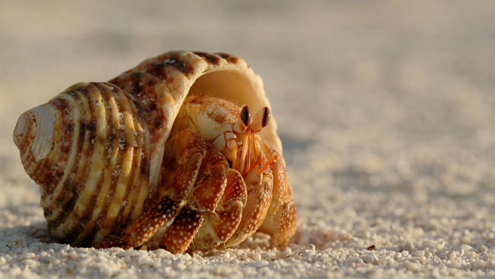A Hermit Crab from The Marine National Monuments, photo by Stephani Gordon