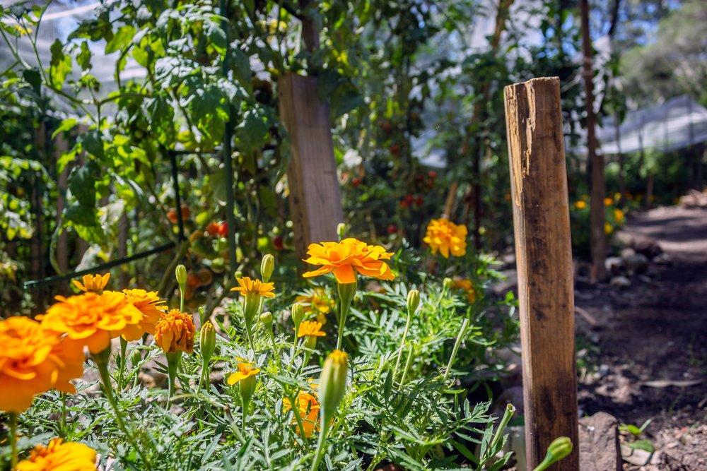 Marigolds2.jpg