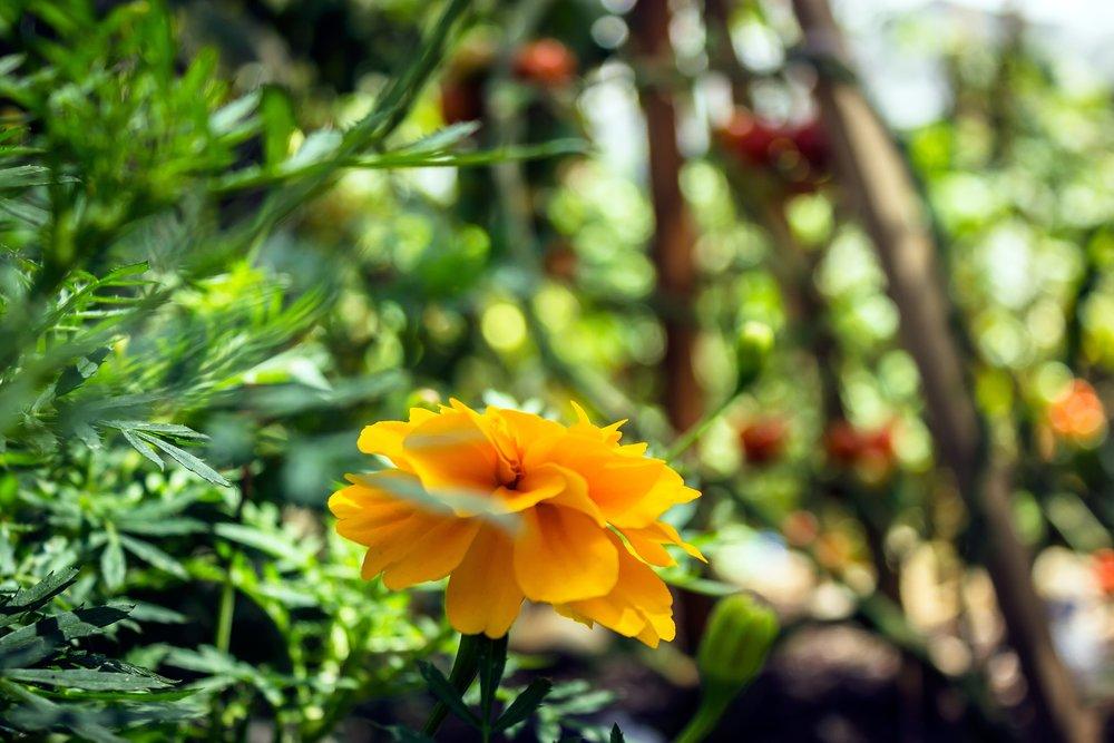 Marigolds3.jpg