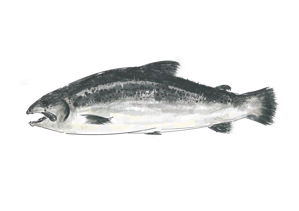 Edd salmon.jpg