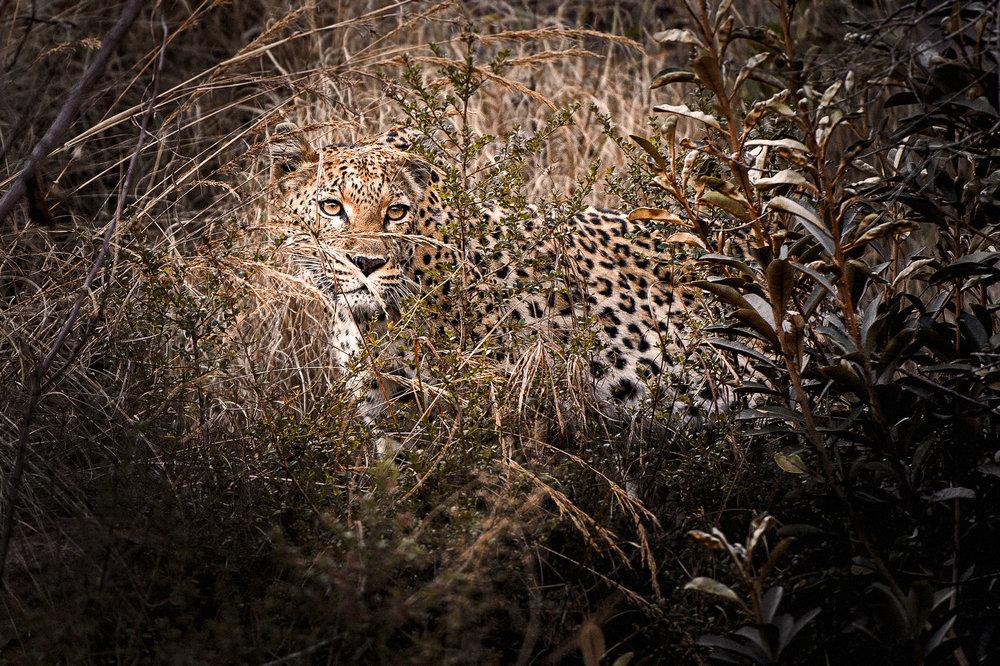Rare Earth_Welgevonden_Leopard_02.jpg