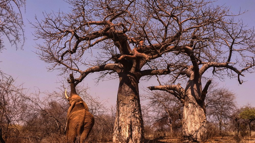 THREE GIANTS: An elephant bull with two magnificent upside down trees - baobabs.