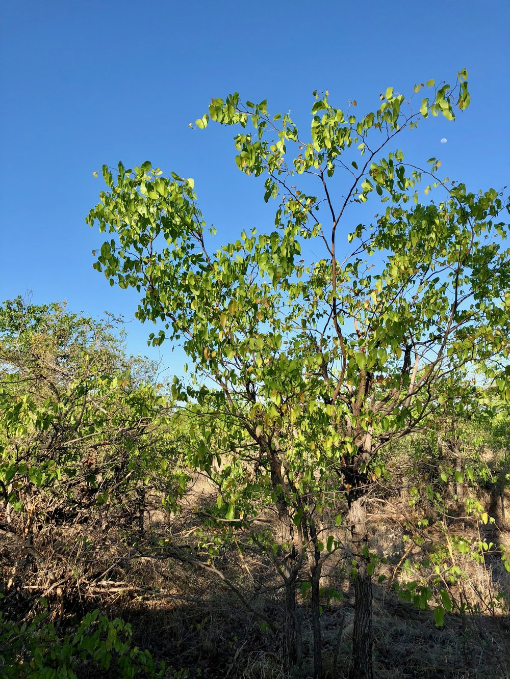 36. Mopane tree.jpg