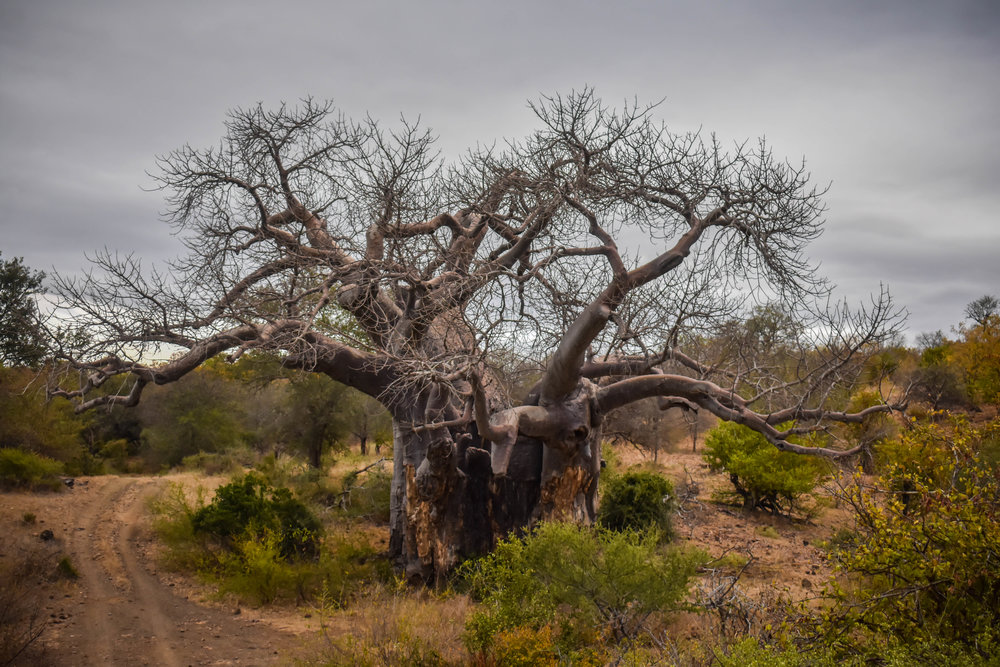 BAOBAB HEAVEN: Our area is known for the incredible number of baobabs growing here. This one is known as the Mapimbi Big Baobab, the oldest and largest baobab in the concession.