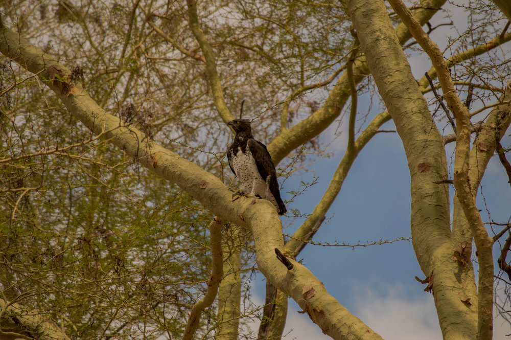 A BIRDER'S PARADISE: A Martial Eagle, the largest eagle in Africa, captured in the Fever Tree Forest.