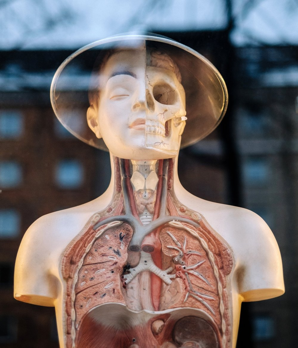 human anatomy and speech therapy