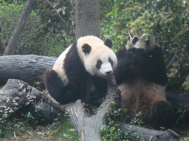 Chengdu Giant Panda Breeding Research Base