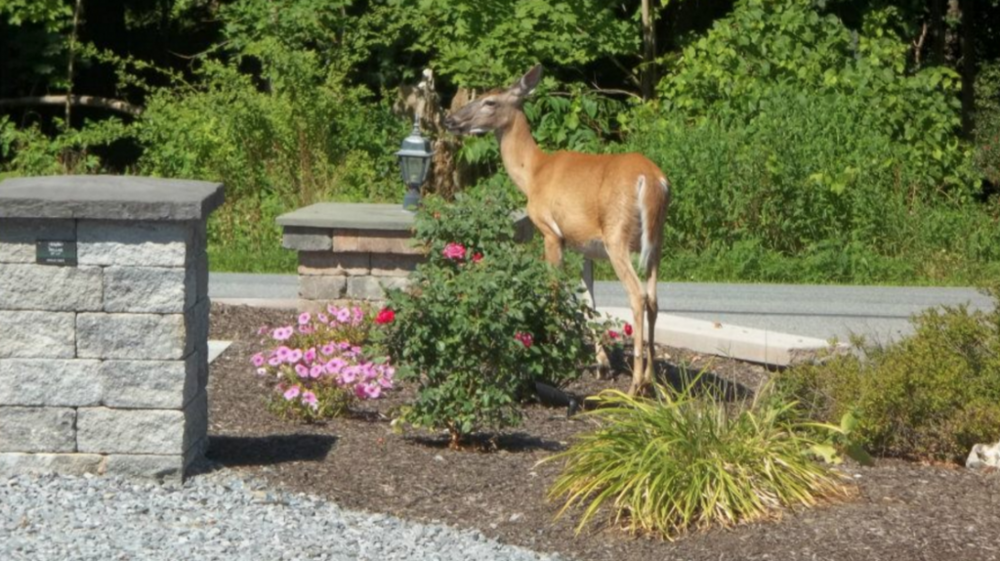 keeping deer away from your landscape in dutchess county, ny