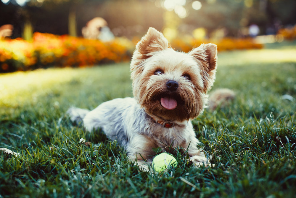 How to Keep Pets Safe from Weed Killers in Fishkill, NY