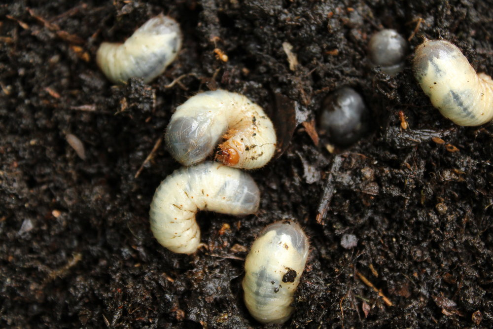 Lawn Care: How Do You Know If You Have Grubs in Your Wappingers Falls, NY, Lawn?