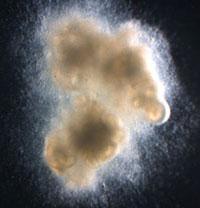 Bioengineered human intestine with working nerves.