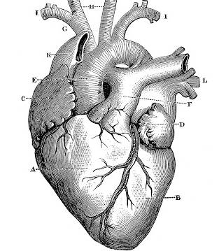 Anatomy-Heart-Images-Vintage-GraphicsFairy.jpg