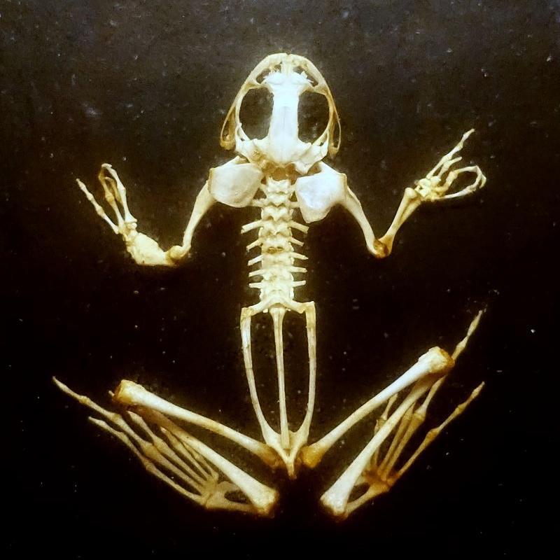 Frog_skeleton.JPG