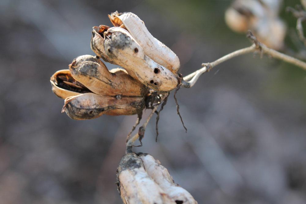yuccaseedpod.JPG