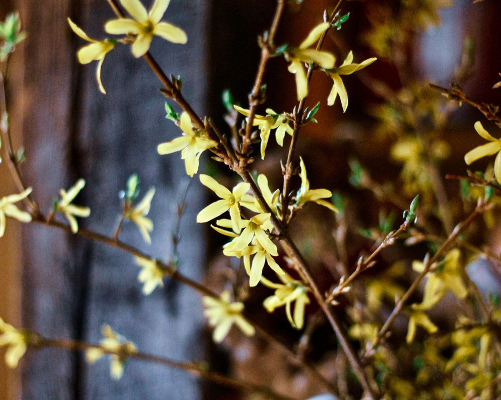 forsythiainbloom.jpg