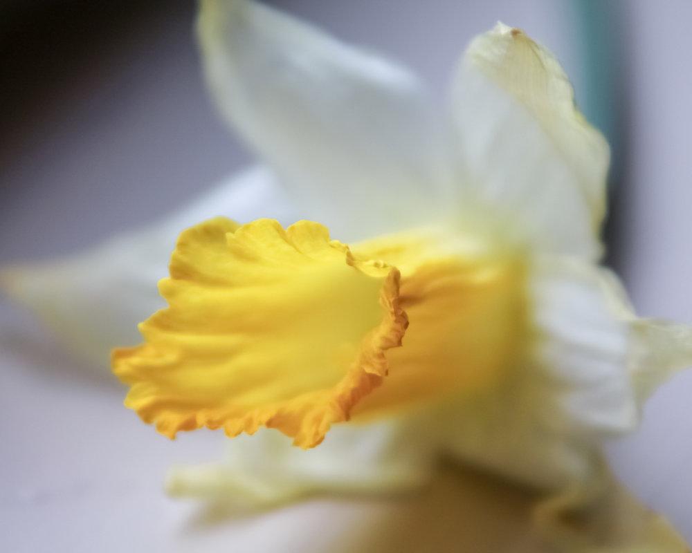 daffodiloncemore.jpg
