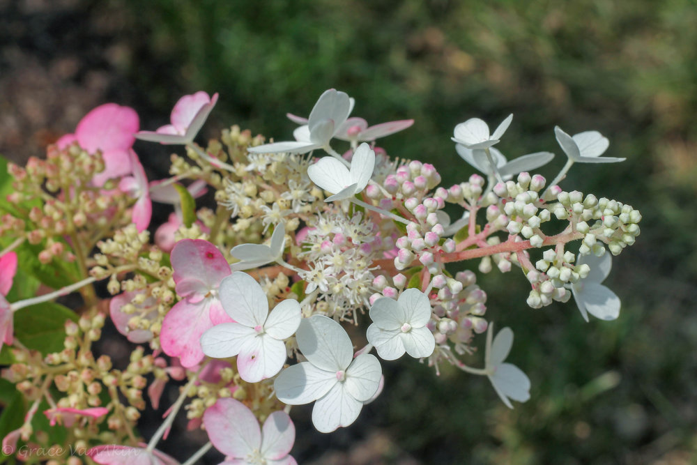Pink Hydrangea Closeup.jpg