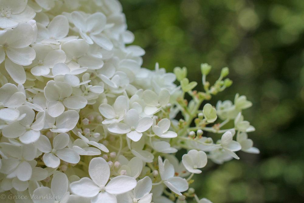 White Hydrangea Closeup.jpg
