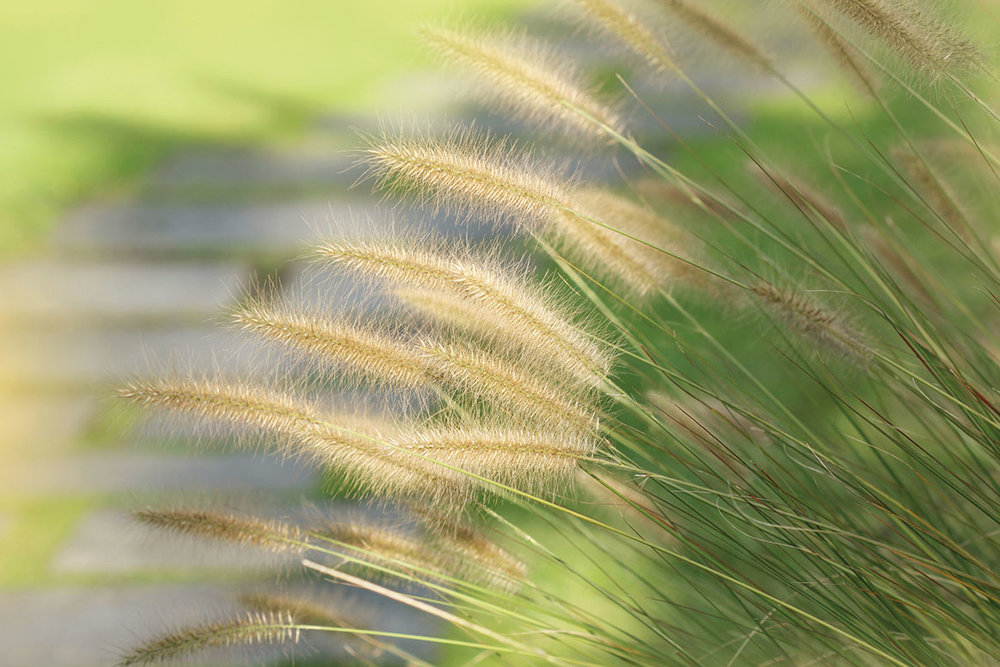 Green fountain grass