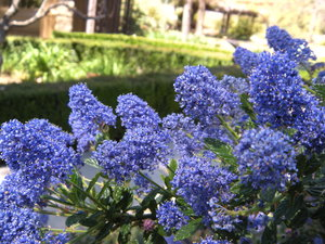 California native prefer deep and infrequent watering. (Ceanothus 'Concha')   Image © Pam Pavela