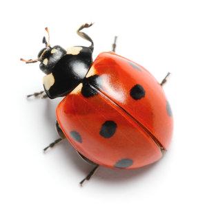 BkSUS_Ladybug.jpg