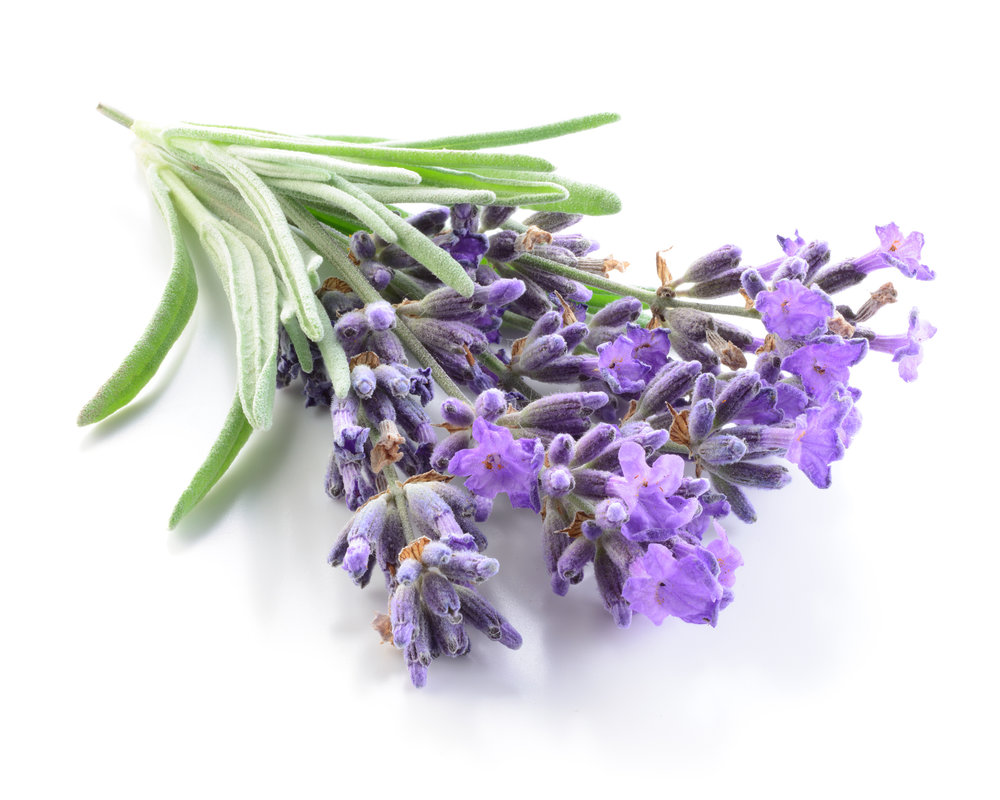 English Lavender  (Lavendula angustifolia)