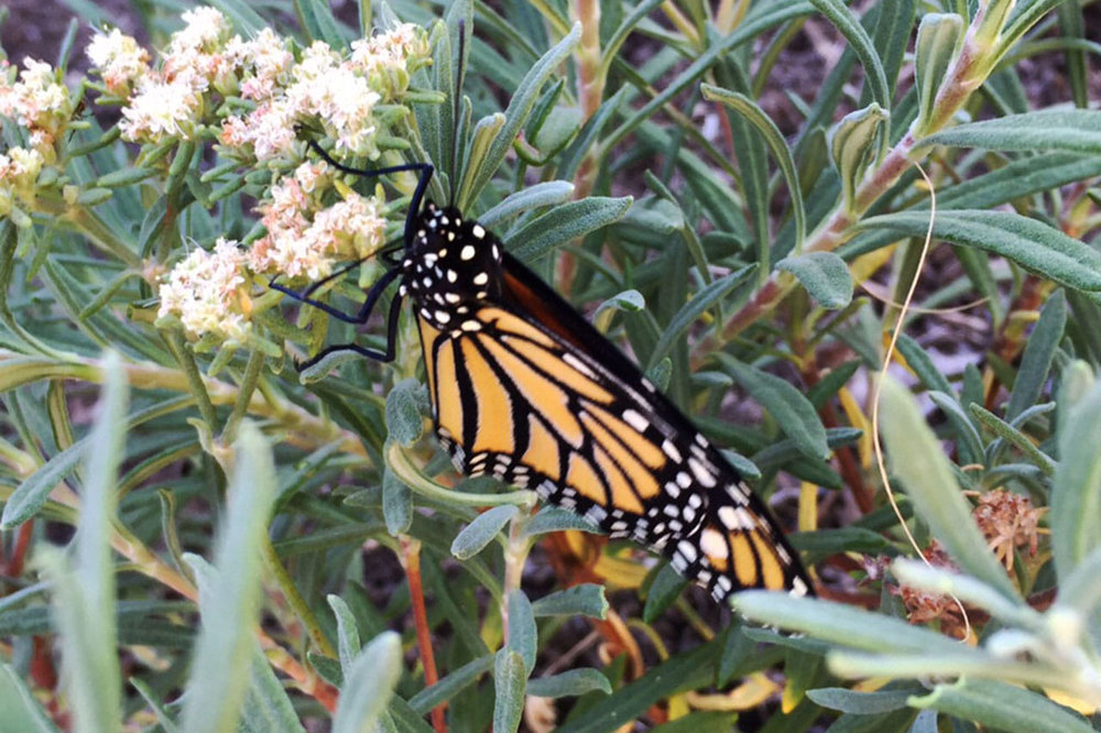 Monarch butterfly on Buckwheat ( Eriogonum  species) - Image courtesy of the Theodore Payne Foundation.