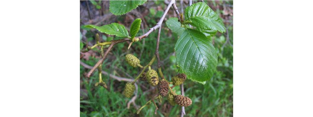 Alder : white alder ( Alnus rhombifolia )