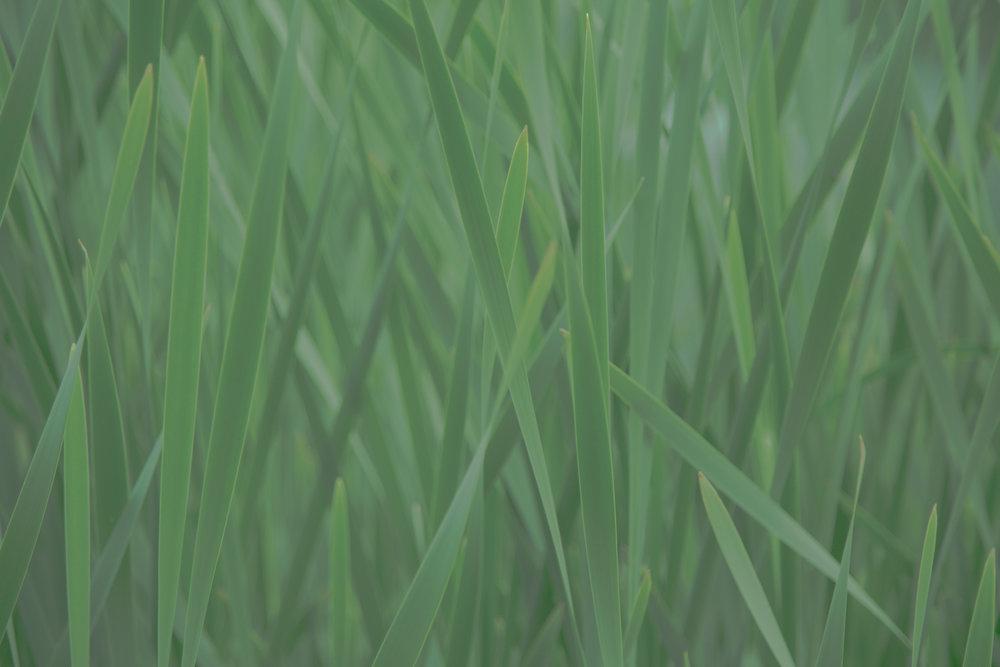 green-grass-1464621149kmj-2.jpg