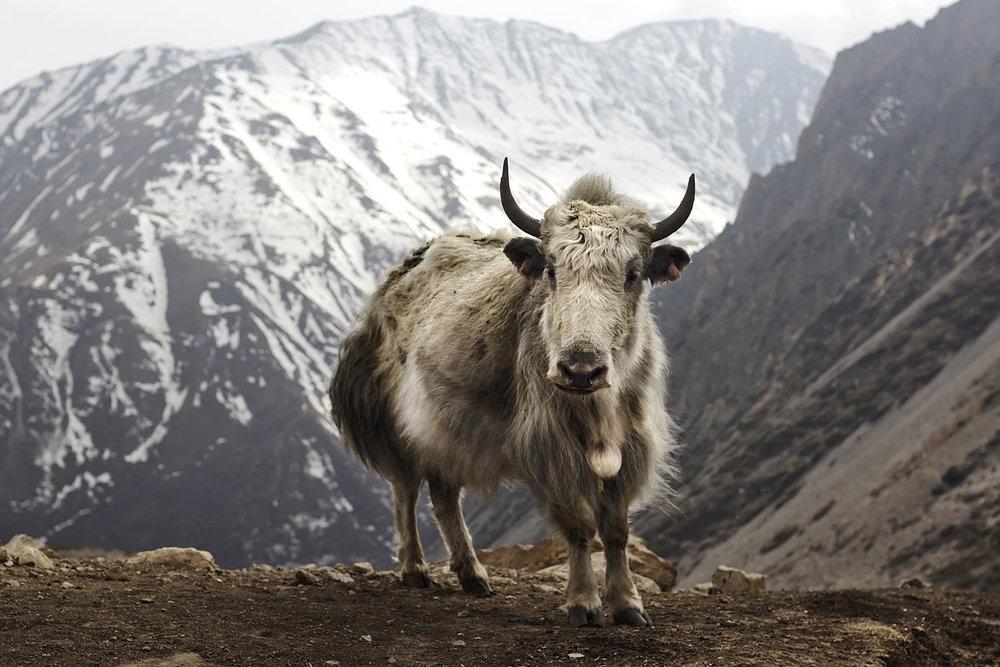 1200px-Bos_grunniens_at_Letdar_on_Annapurna_Circuit.jpg