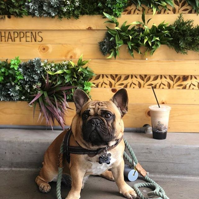 Matcha got there, @mozithefrenchie 🐶? Our soft opening hours for Rowland Heights this weekend is 1pm-10pm on Saturday and 2pm-5pm on Sunday. Come by to get a free topping for your drink for our soft opening special! #sipmatcha #backtobasips