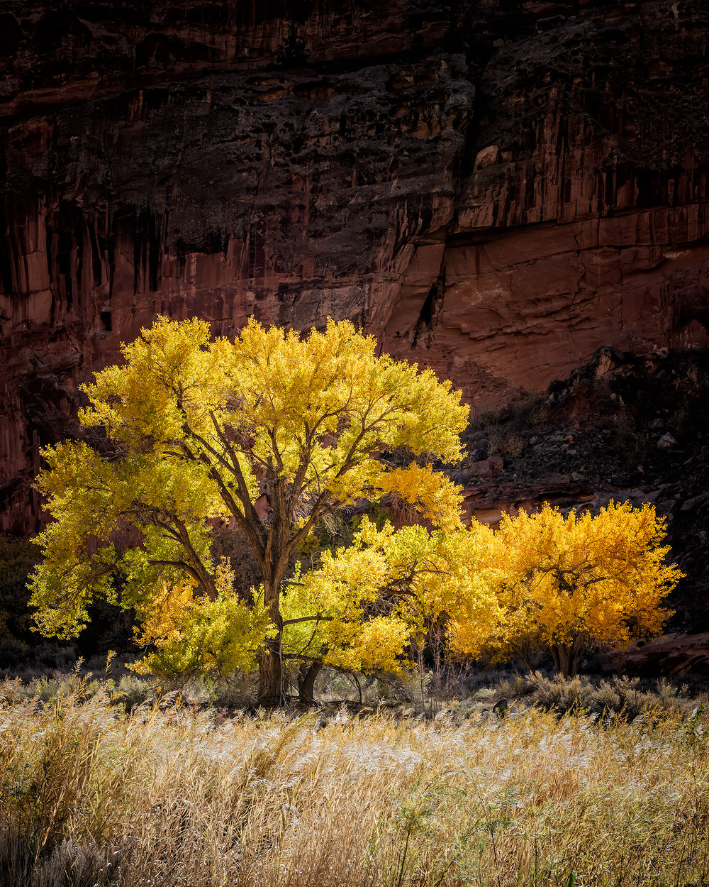 capital reef red wall and gold tree.jpg