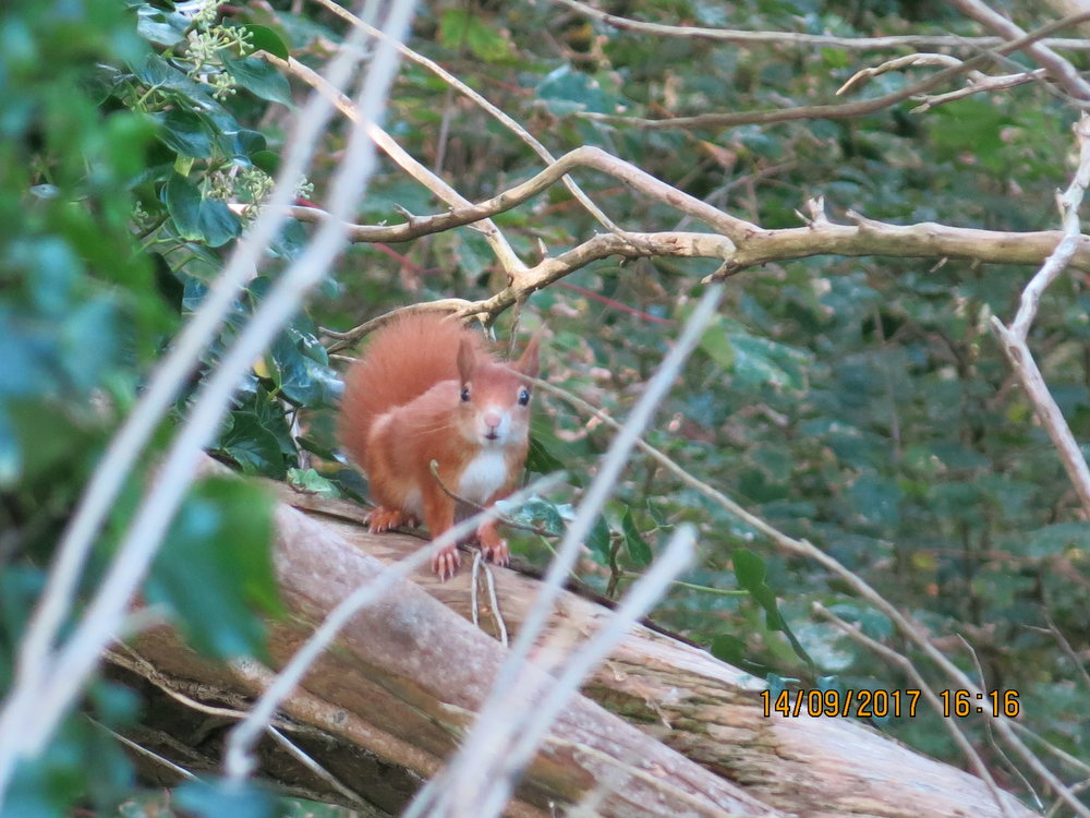 Red Squirrels: Three red squirrels arrived on the island in 2016 after an extensive programme of rat eradication, and then a further 12 were added last year.  The island is following a greatly-researched, closely-monitored and supplemented conservation programme, where the health and happiness of the squirrels is paramount. The aim is for the reds to live in natural habitat with no competition from grey squirrels, which is a rare thing in the UK.  The squirrels' welfare is continually assessed, and so far they are enjoying their surroundings, building dreys, finding food, exploring the island, and raising young.  We are delighted to have spotted at least eight kits in three different groups this summer and we know that they are spreading out from where they were first established.  The squirrels are being fed hazelnuts and cuttlefish via 22 feeders (with the first year's feed sponsored by Tenby Lions). The feeders are checked daily and topped up when empty.  The feeding stations also allow us to film the squirrels' feeding habits which is valuable information for us.  The island is now planting further areas of native trees to provide more food for the squirrels in the future.  Management of the gene-pool began by introducing squirrels from different stocks, and will continue by movement of squirrels within conservation projects in the UK. The introduction was made possible with the expertise and advice of wildlife expert Dr. Nick Fox of International Wildlife Consultants near St. Clears. We are also very grateful to Tenby Lions, and to Simon Hart, MP.