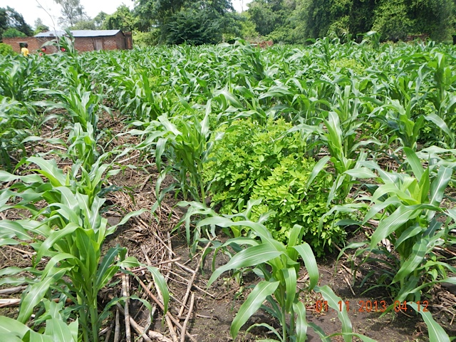 Well-Managed-Field-of-Gliricidia-Maize-Intercropping-Mfuwe.jpg