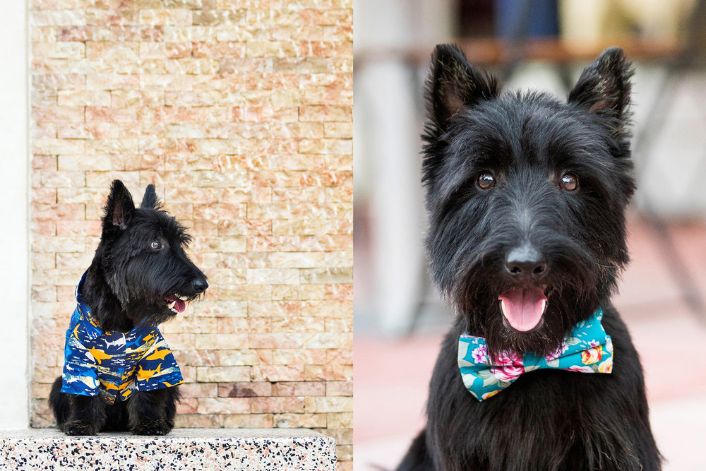 Scottish Terrier photography in Miami Beach, Florida