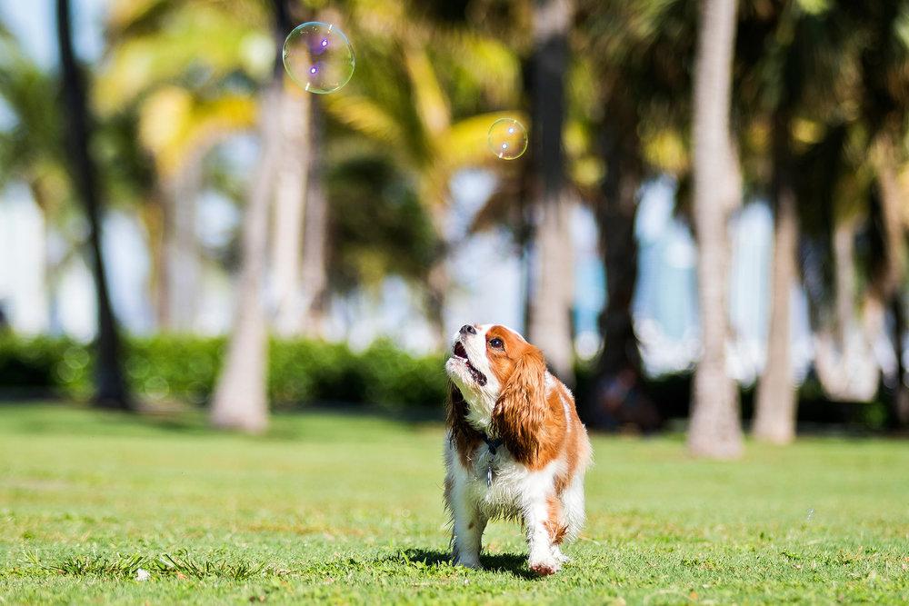 cavalier king charles spaniel, Miami Beach