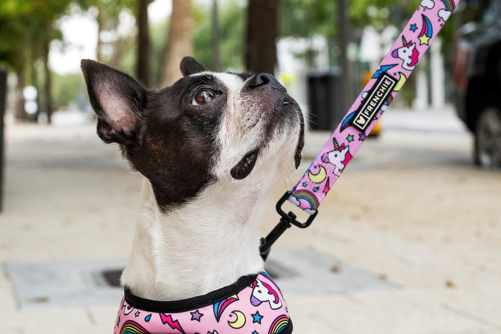 Boston Terrier in Miami Design District