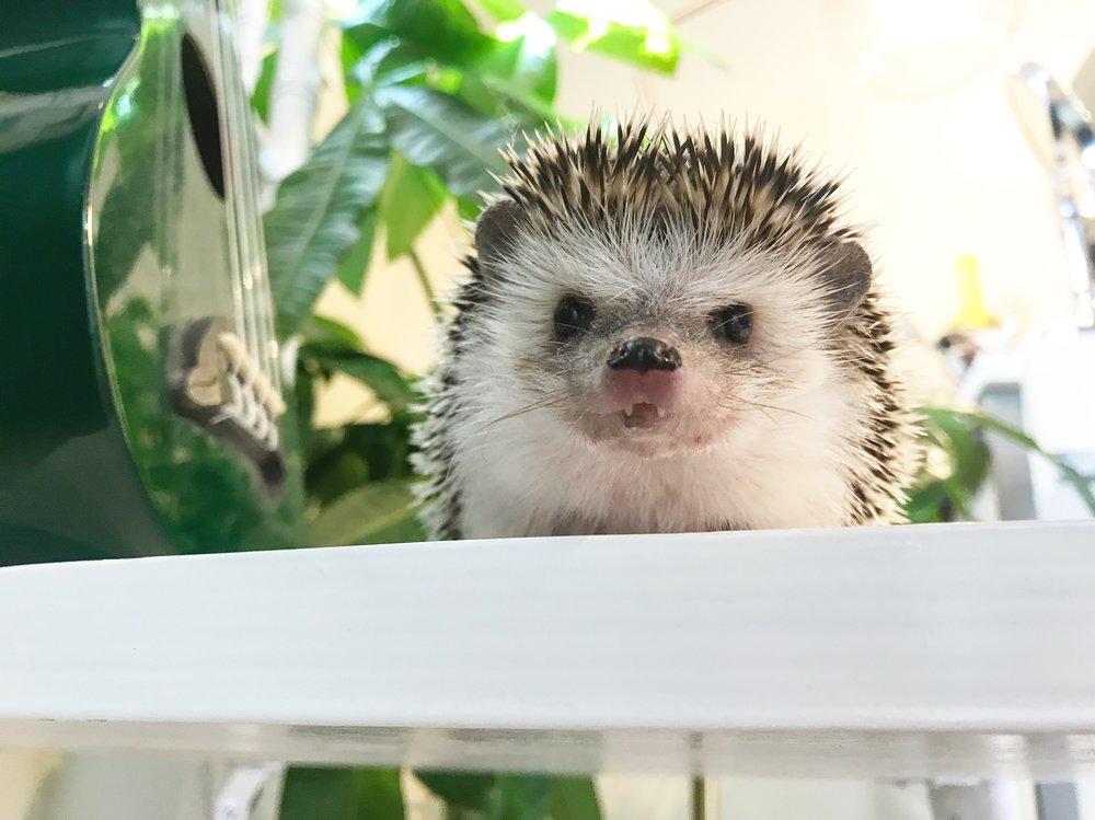 mackenzi's pet hedgehog, hodor