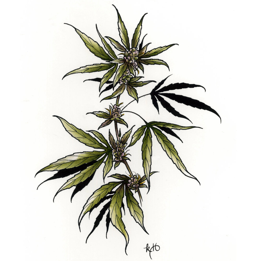 Botanical illustration of cannabis plant. © Kirsten Holliday.
