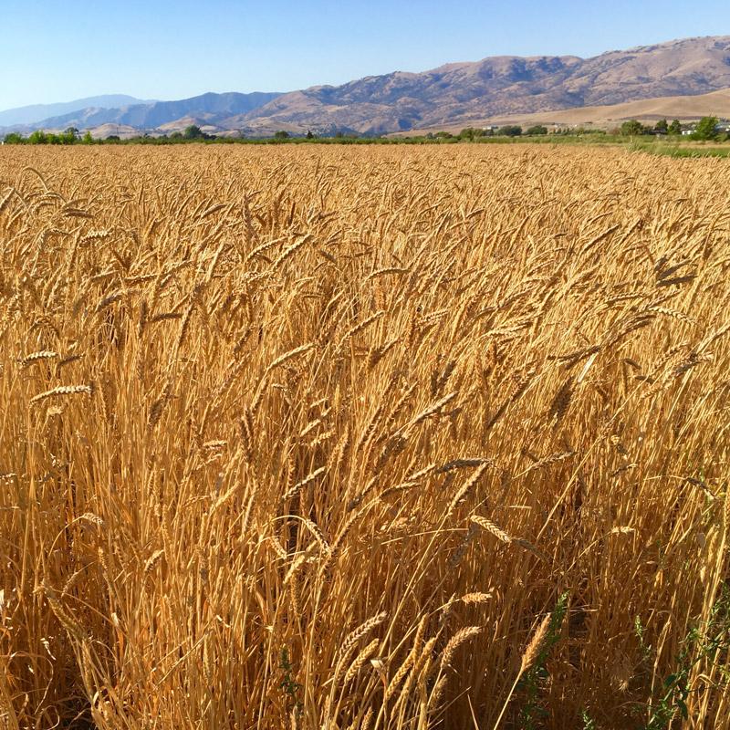tehachapi-grain-field