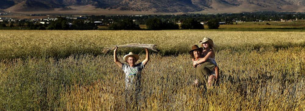 tehachapi-grain-field-harvest-straws.jpg