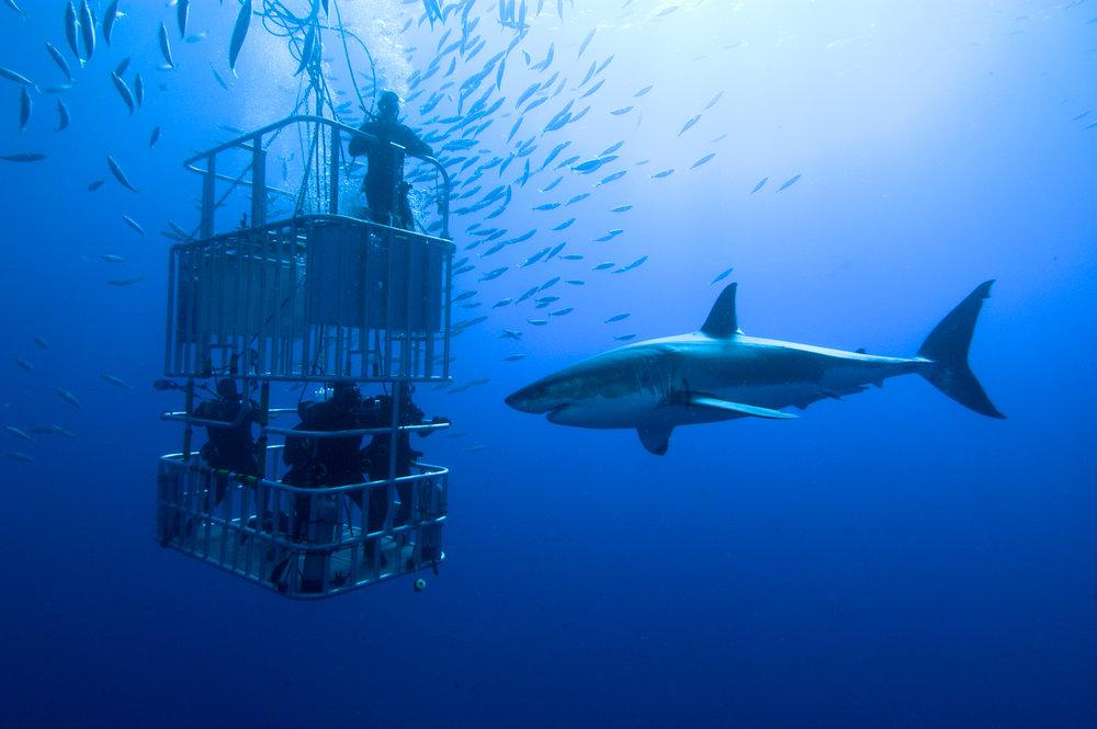 Plongée dans les eaux infestées de requins -