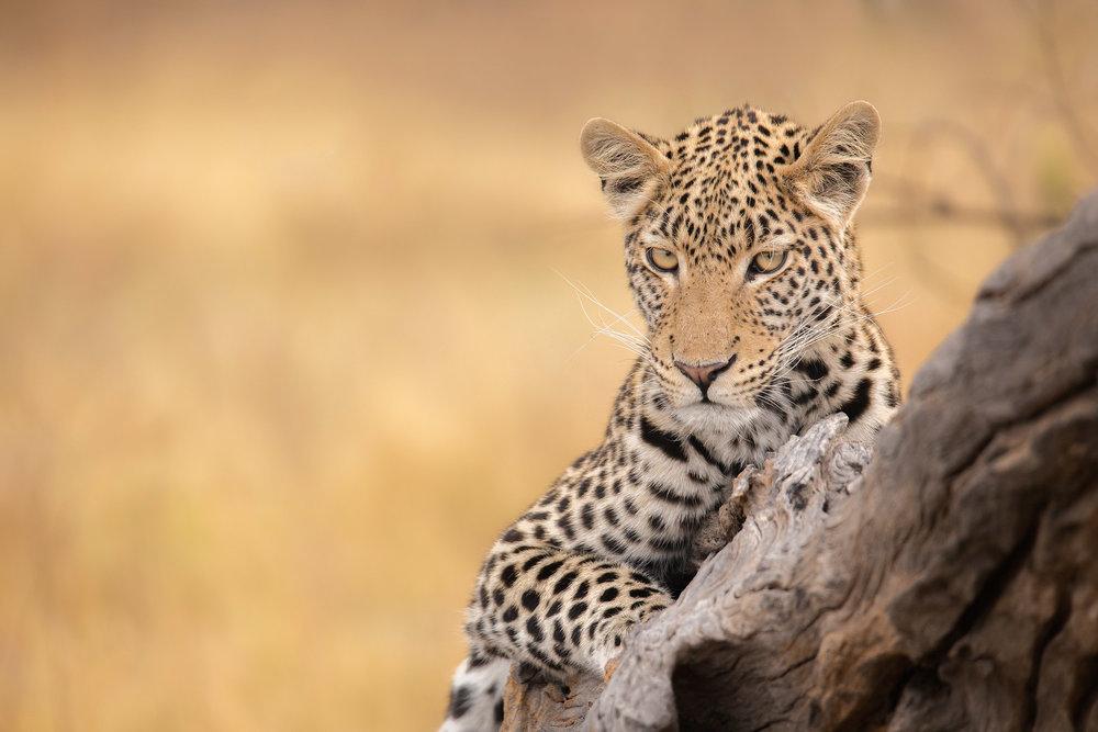 Safaris photo en Afrique