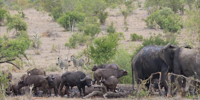 buffels6.jpg