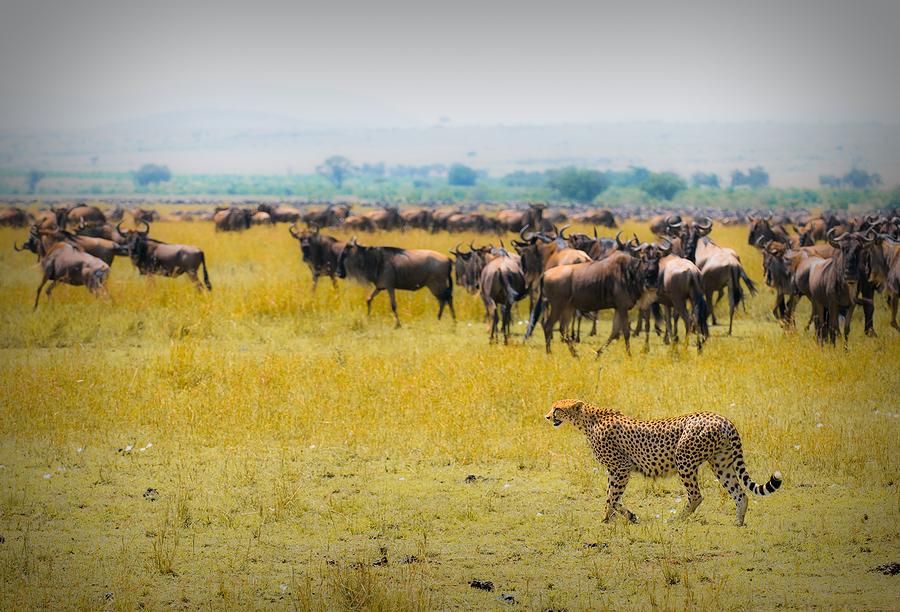 Cheetah-hunting1.jpg