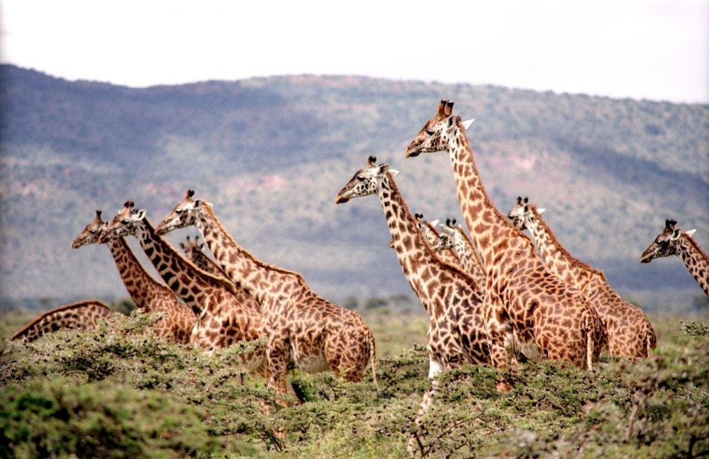 giraffe-657773.jpg